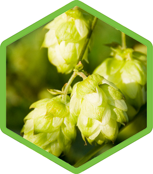 Humulus Lupulus Hops Extract Is Used In Skincare For Its Skin Softening Properties And Also Used In Shampoos For So Pickles Shampoo Body Wash Hops Extract
