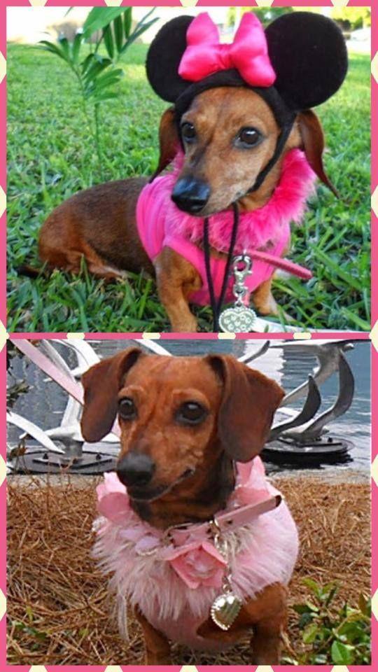 Poodle And Pooch Rescue Of Florida Petfinder Foundation Pooch