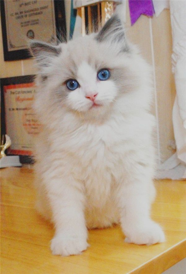 25 Viral Ragdoll Cat Photos That You Will Love Best Cat Breeds Cute Cats And Dogs Cute Cat Breeds