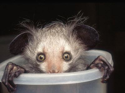 Ayeaye :) Funny animal.