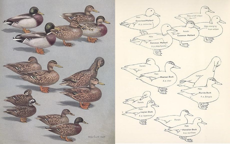 Mallard, Mottled, Laysan, and Hawaiian Ducks