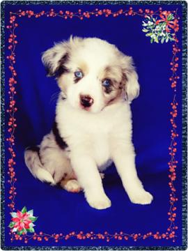 Australian Shepherd Puppy For Sale In Phoenix Az Adn 57140 On