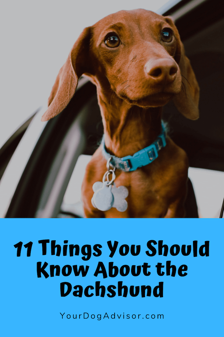 11 Things You Should Know About The Dachshund Dogs Dog Safe Medicine