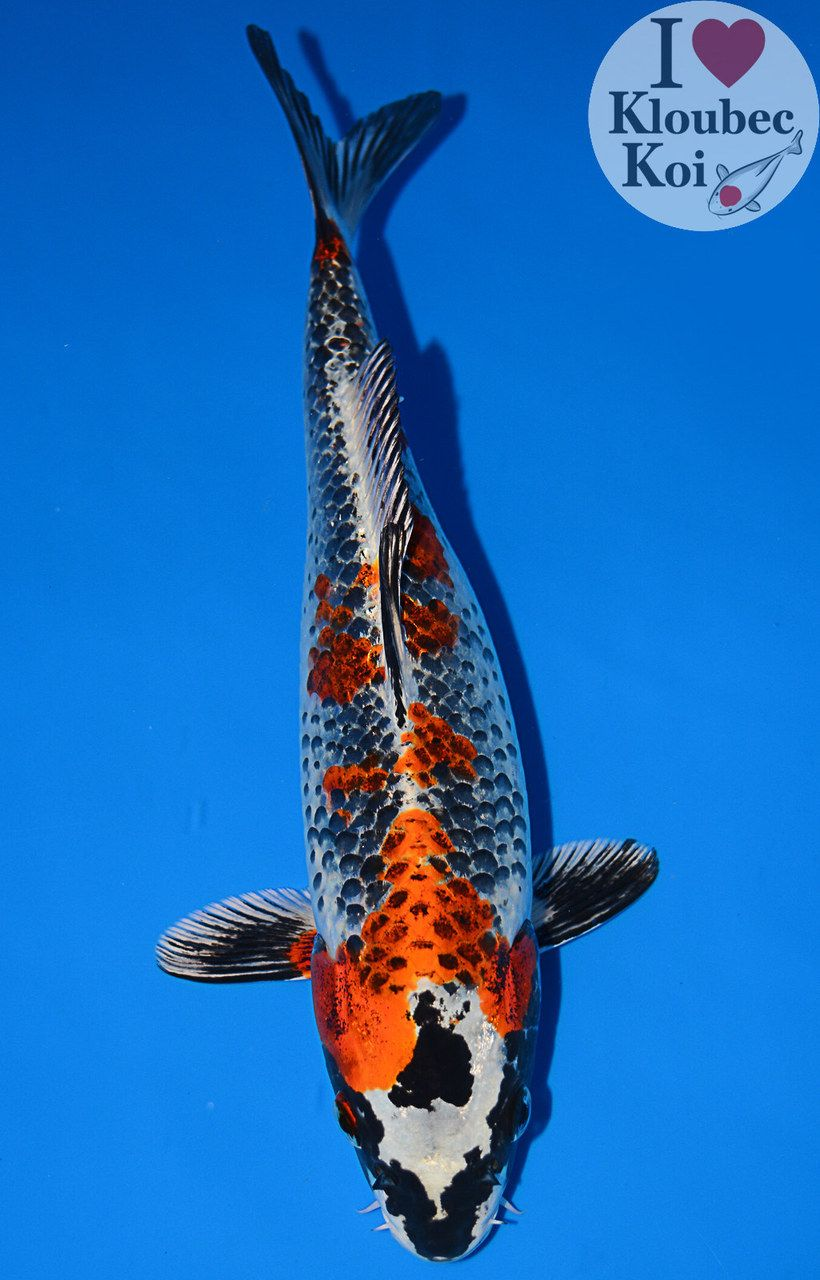 11 Kujaku 9008r1 Koi Koi Pond Backyard Koi Fish