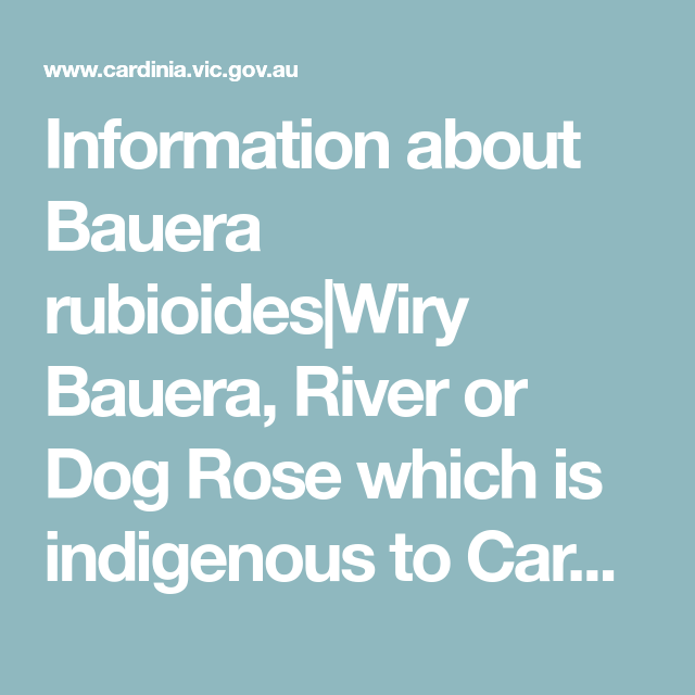 Information About Bauera Rubioides Wiry Bauera River Or Dog Rose Which Is Indigenous To Cardinia Shire Wiry Densely Scramb Dogs River Dog Training Obedience