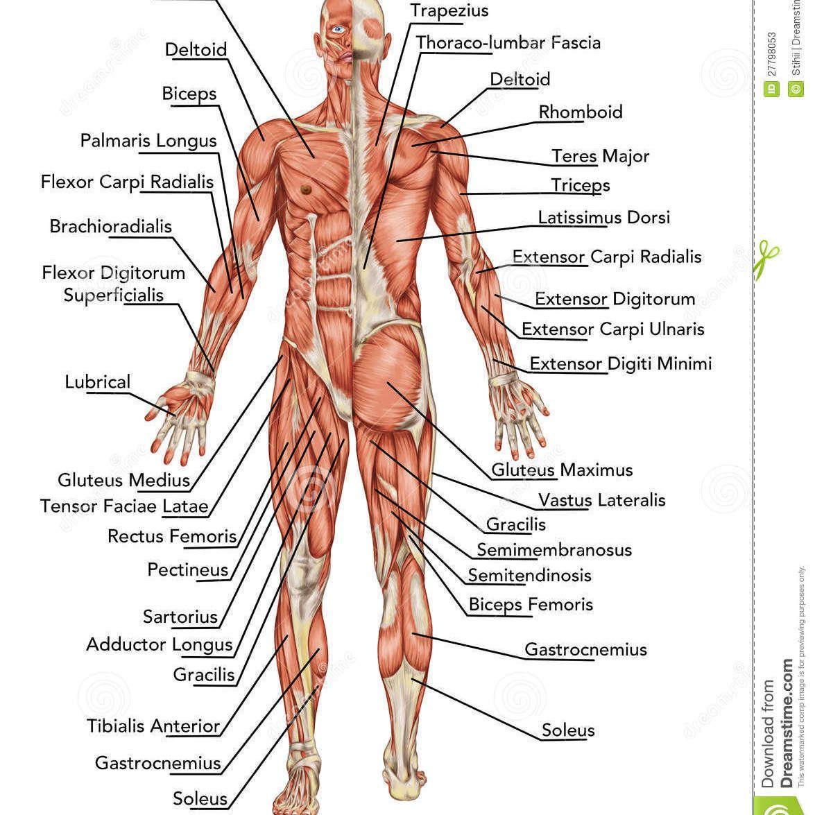 Resultado de imagen para esqueleto humano y sus huesos | miércoles ...