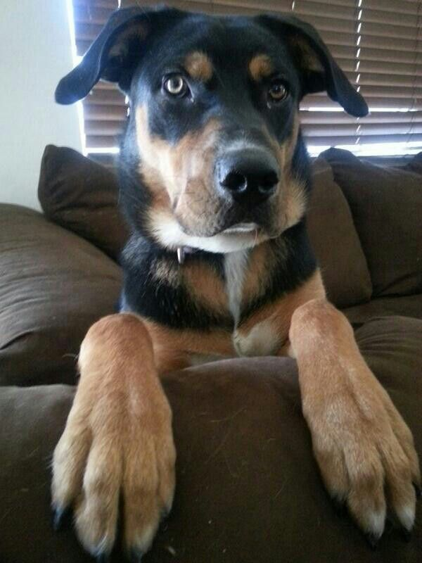 Handsomedogs My Beautiful Rottweiler Lab Mix He S 8 Month Old