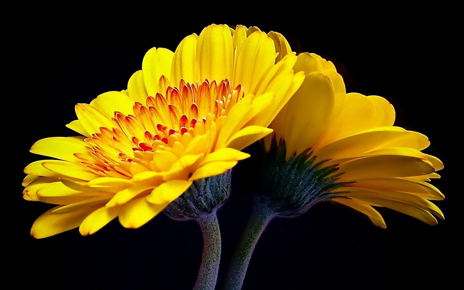 Hd wallpaper yellow flowers - Yellow Flowers Wallpapers