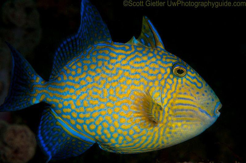 Trigger Species Fish Pet Sea Creatures Sea Life