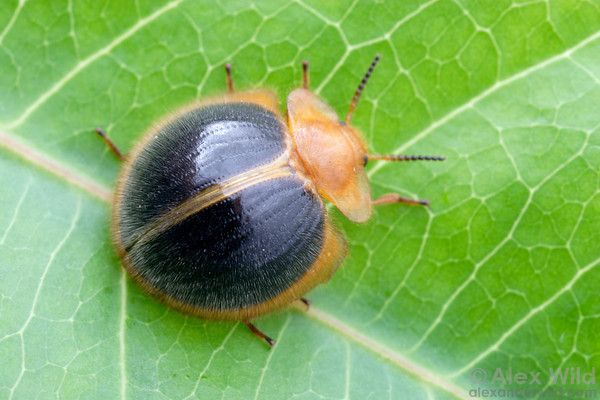 Nilio sp. - tropical darkling beetle.  Panama.  filename: nilio1