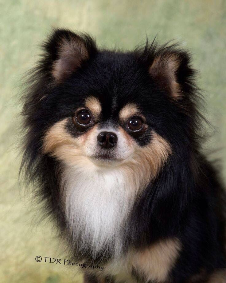 This is a Full coat Chihuahua! Beautiful! Chihuahua