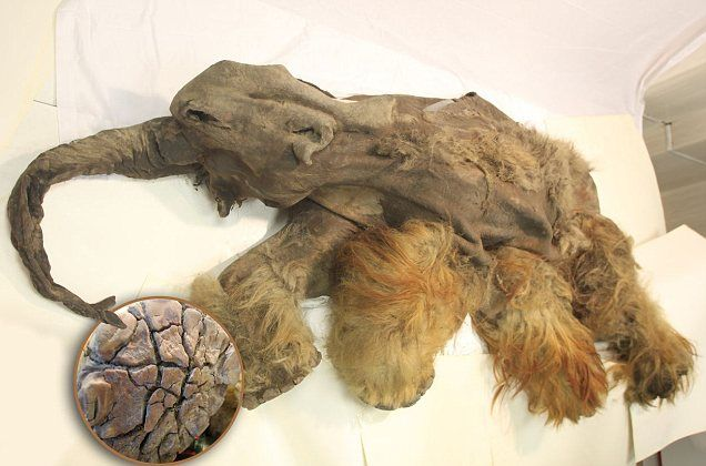 Preserved in the ice for 10,000 years: Ginger-haired baby mammoth shows signs of death struggle with lions - or early humans