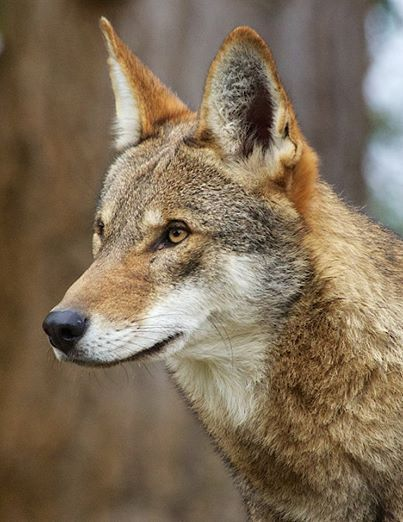 Red Wolf Recovery Program - Manteo, NC - Government