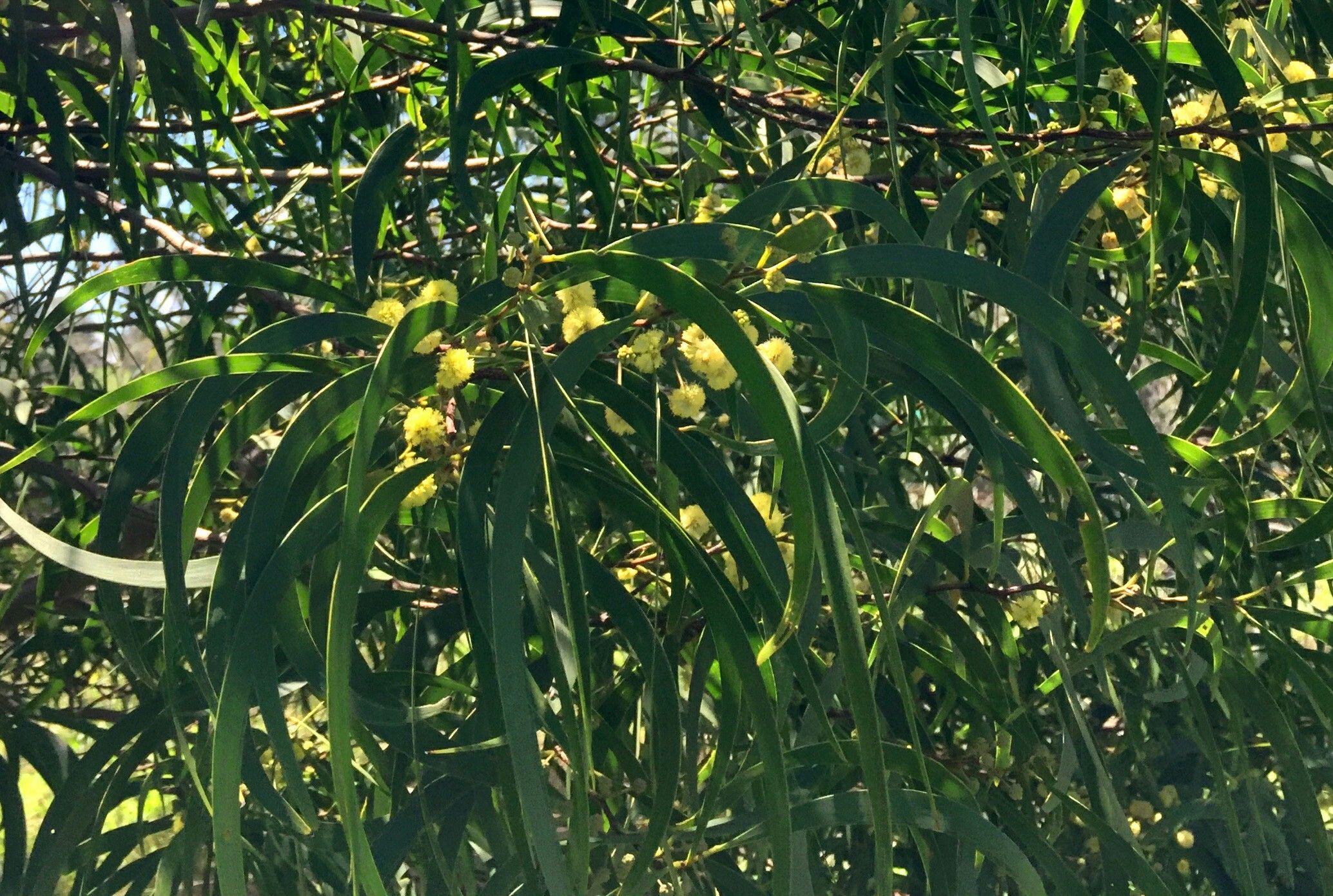 Koa Tree Hawaii
