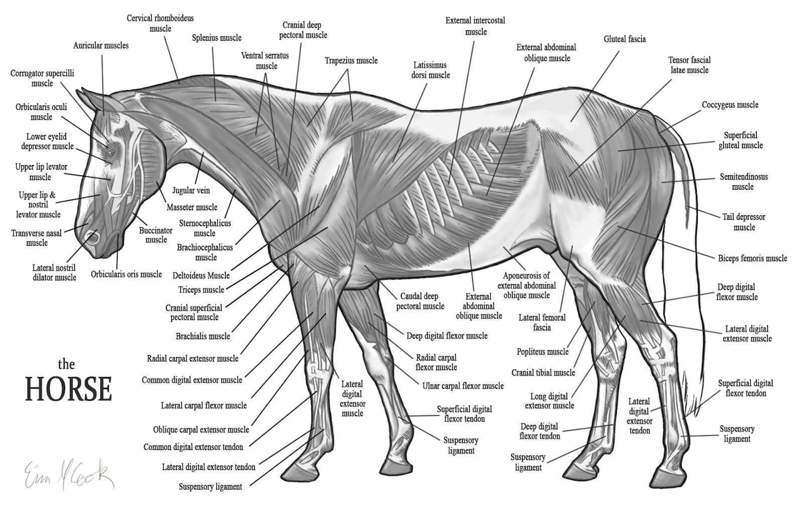 worksheet Horse Anatomy Worksheet horse anatomy large hd wallpaper database equine related horse