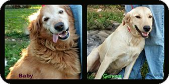 """These are Baby - 8 yrs old & her daughter Geneva - 1 yr. They are owner surrenders because Baby was """"too old"""". They are spayed and current on vaccinations. They are very bonded and need to be adopted together. The Canine Collective, Delaware, OH. - http://www.caninecollective.org/ - https://www.facebook.com/caninecollective - http://www.adoptapet.com/pet/11592357-delaware-ohio-golden-retriever?view_src=sshtml&utm_source=SearchSaver&utm_medium=email&utm_campaign=SearchSaver"""