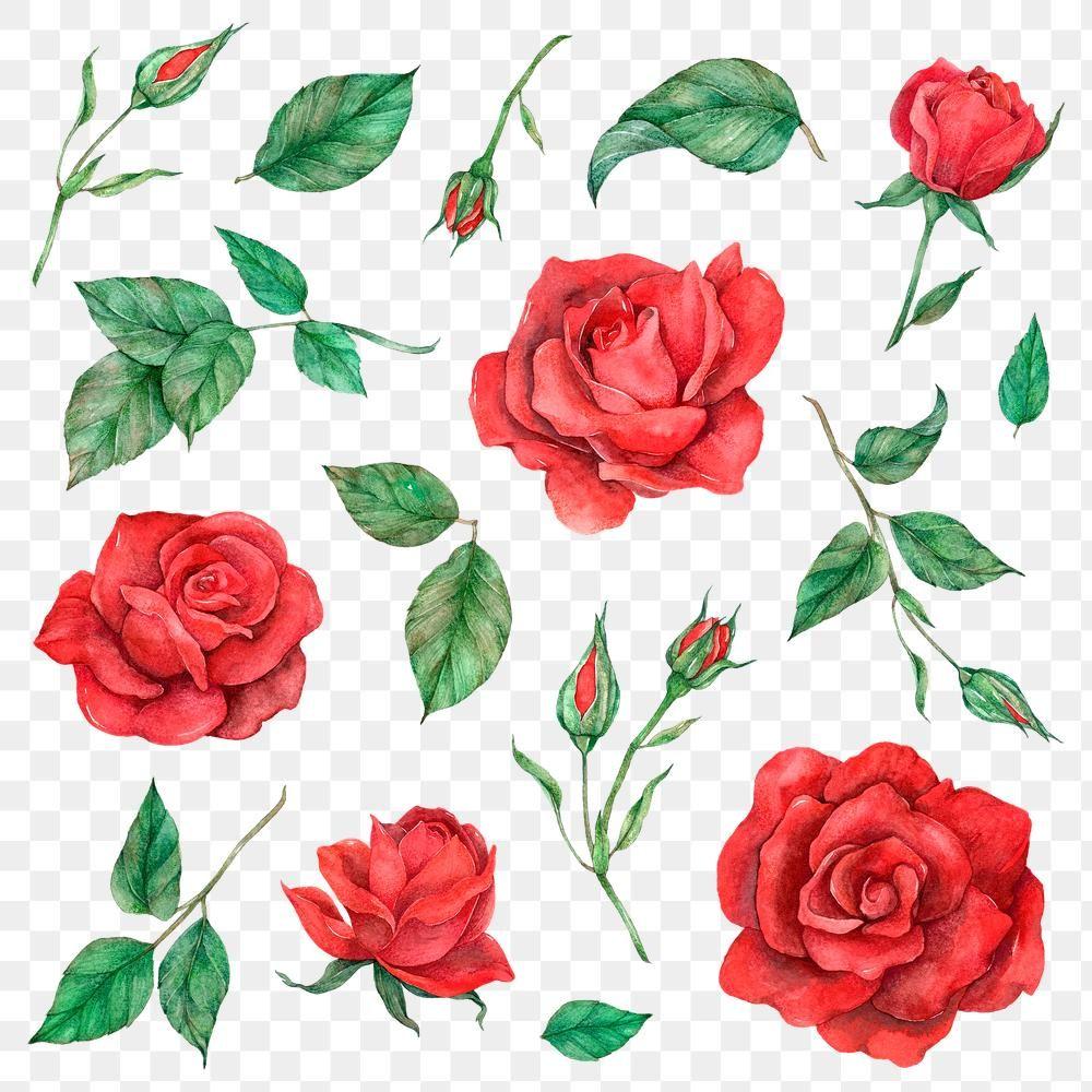 Download Premium Png Of Png Rose And Leaf Set Transparent Background Flower Illustration Red Rose Flower Rose