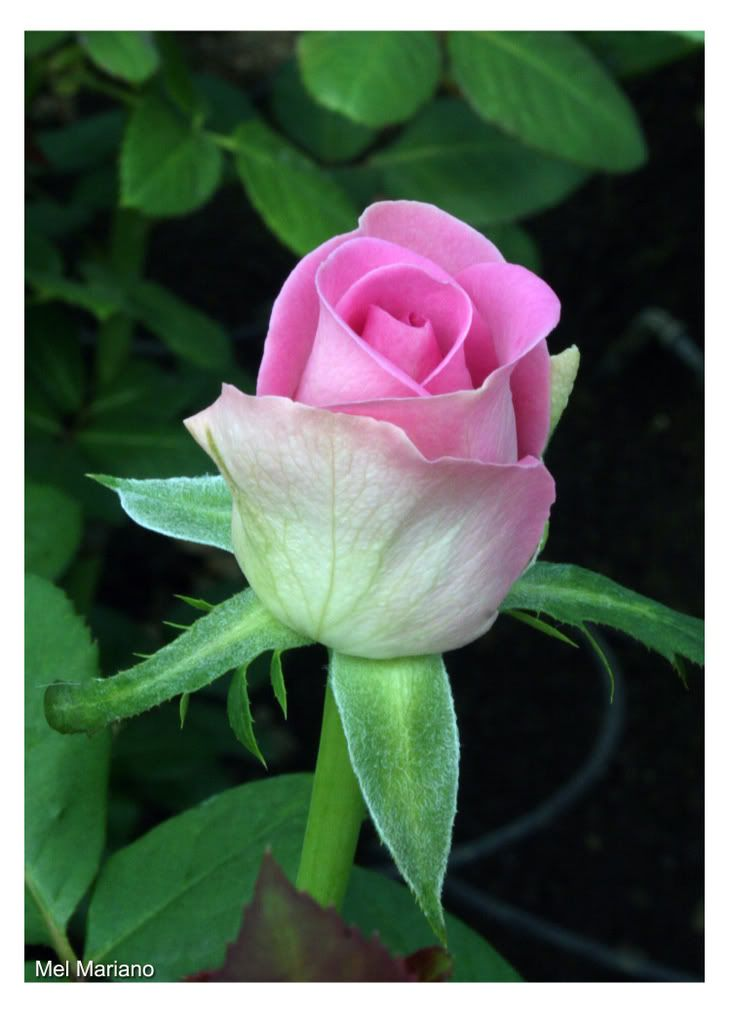 Pin by on pinterest pink roses rose pin by on pinterest pink roses rose and flowers mightylinksfo Choice Image