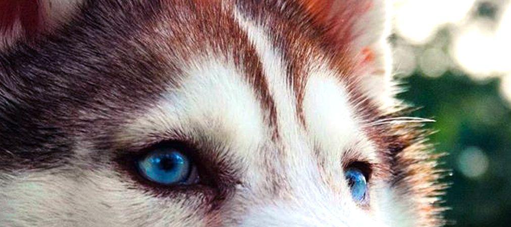 99 Fun Facts About Siberian Huskies Siberian Husky Siberian