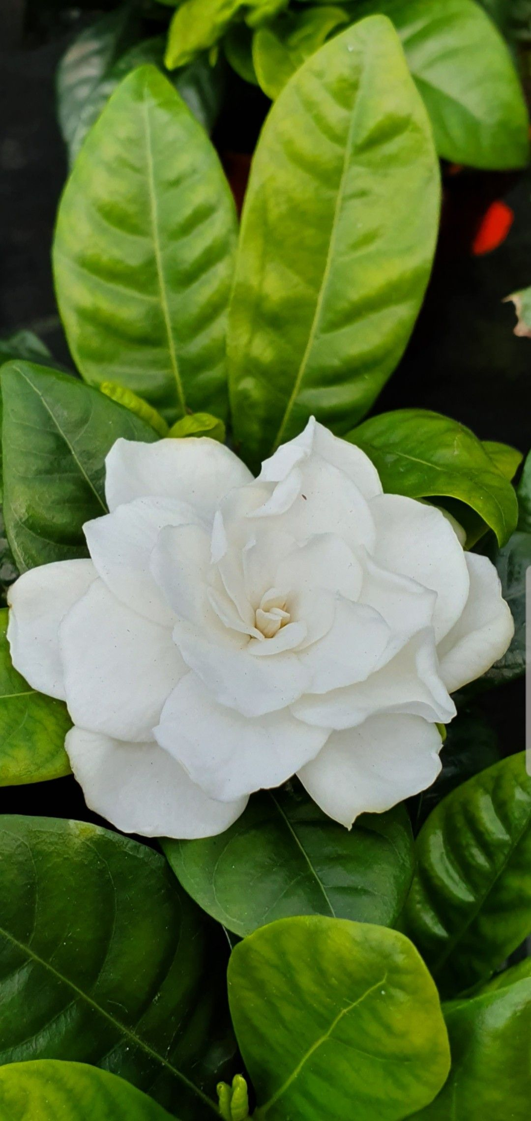 Gardenias Smell Like Heaven With Images Beautiful Flowers