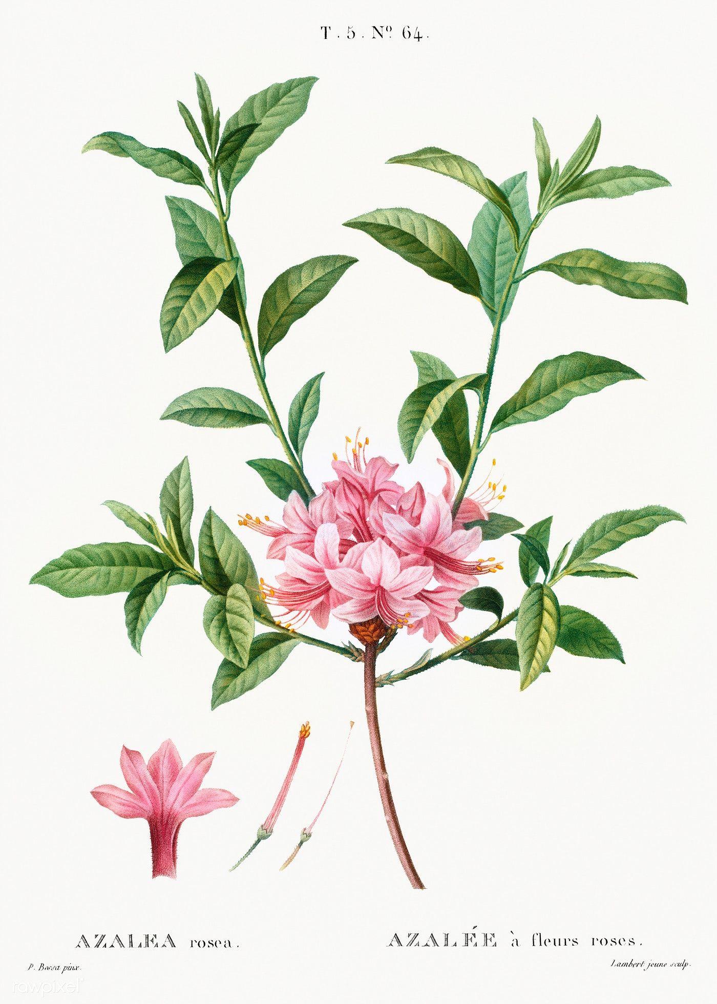 Azalea Azalea Rosea From Traite Des Arbres Et Arbustes Que L On Cultive En France En Pl Flower Illustration Vintage Floral Backgrounds Botanical Illustration