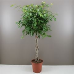 Easy to care for and suitable for everyone - Ideal gift for gardens, homes and offices - Filters air to keep it fresh and clean - Attractive small indoor tree with glossy leaves and grey stem - Ficus Benj