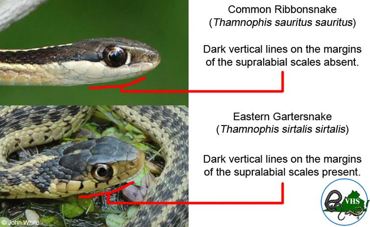 Eastern Garter Snake Pick It Up Good To Have In Your Garden