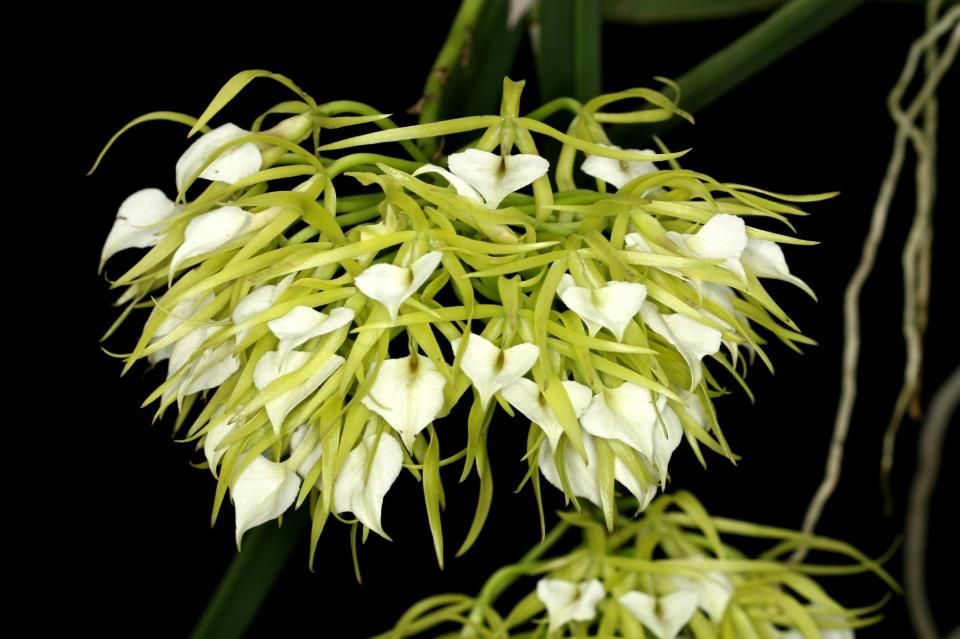 Brassavola subulifolia Mounted