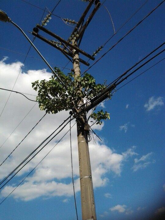Pe de Jurubeba na rede de telefonia, na rua sergipe, Indaiatuba, Sao Paulo.