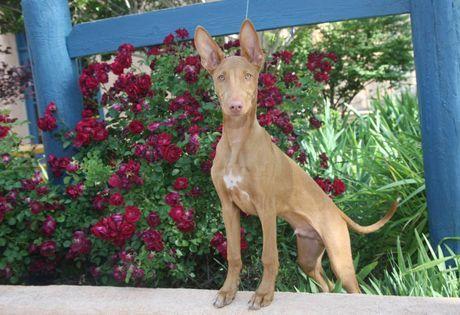 Pharaoh Hound Dog Breed Information - Lindos! #Breed #dog #Hound #information #Lindos #Pharaoh #DogToilet #Dog #Toilet