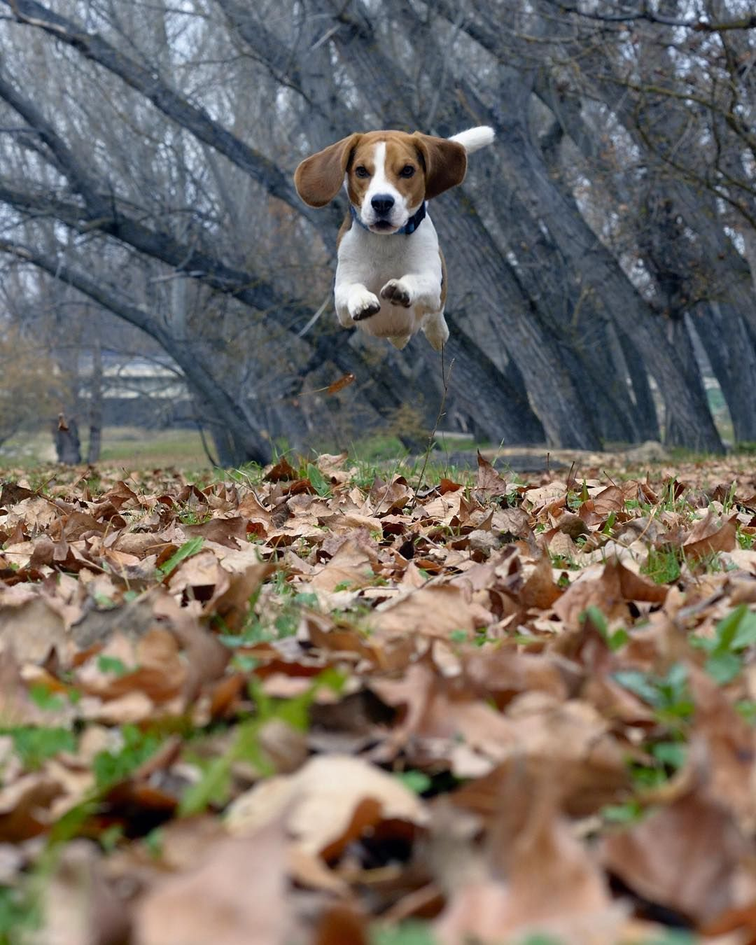 Last Autumn Jump Types Of Beagles Beagle Dog Cute Beagles
