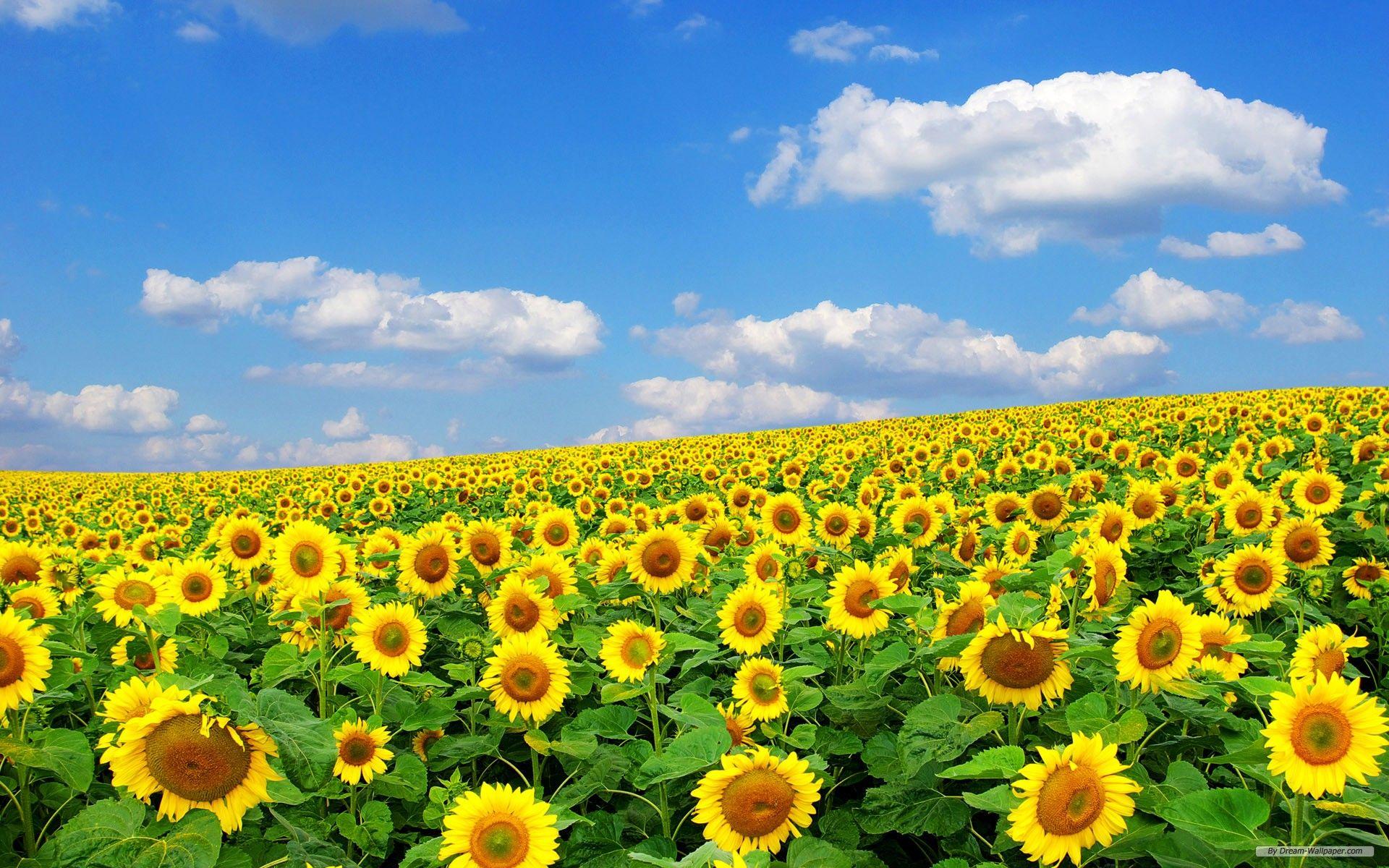 向日葵 画像 Google 検索 向日葵 画像 ひまわり 検索