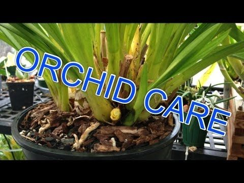 Pin By Jared Sporleder On Orchids Cymbidium Orchids Care Orchid Leaves Cymbidium Orchids
