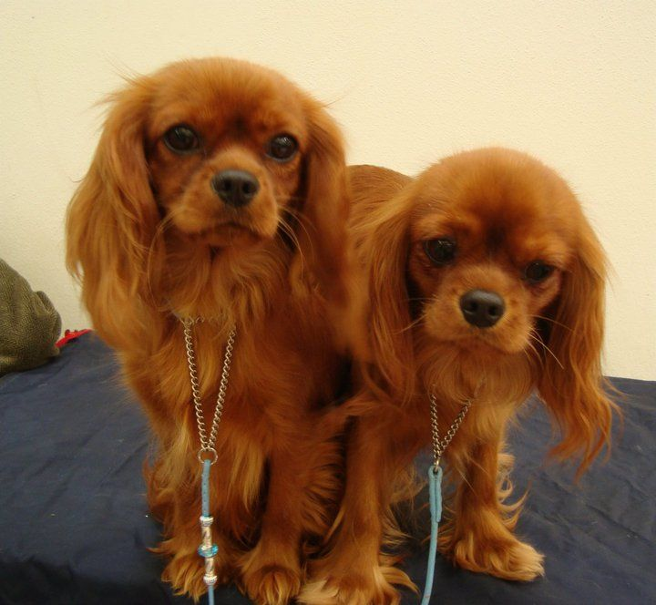 Cavalier King Charles, Lesley's Rubies, so pretty. I want one.