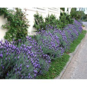 نبات بحرف ض مجموعة متنوعة ما بين النباتات العطرية والصحراوية بالصور إيمدج عرب Spanish Lavender Front Lawn Landscaping Front Yard Plants