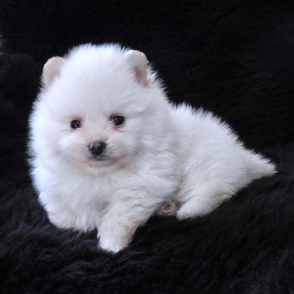Pin On Crystal White Pomeranian Puppies
