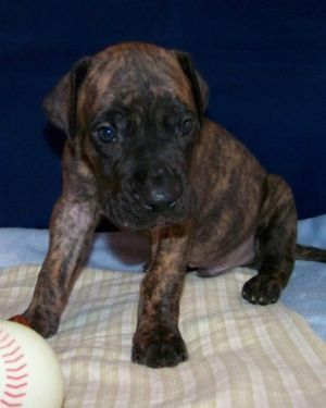 Akc Great Dane Puppies Brindle Fawn Euro American Health Guarantee Great Dane Puppy Great Dane Dane
