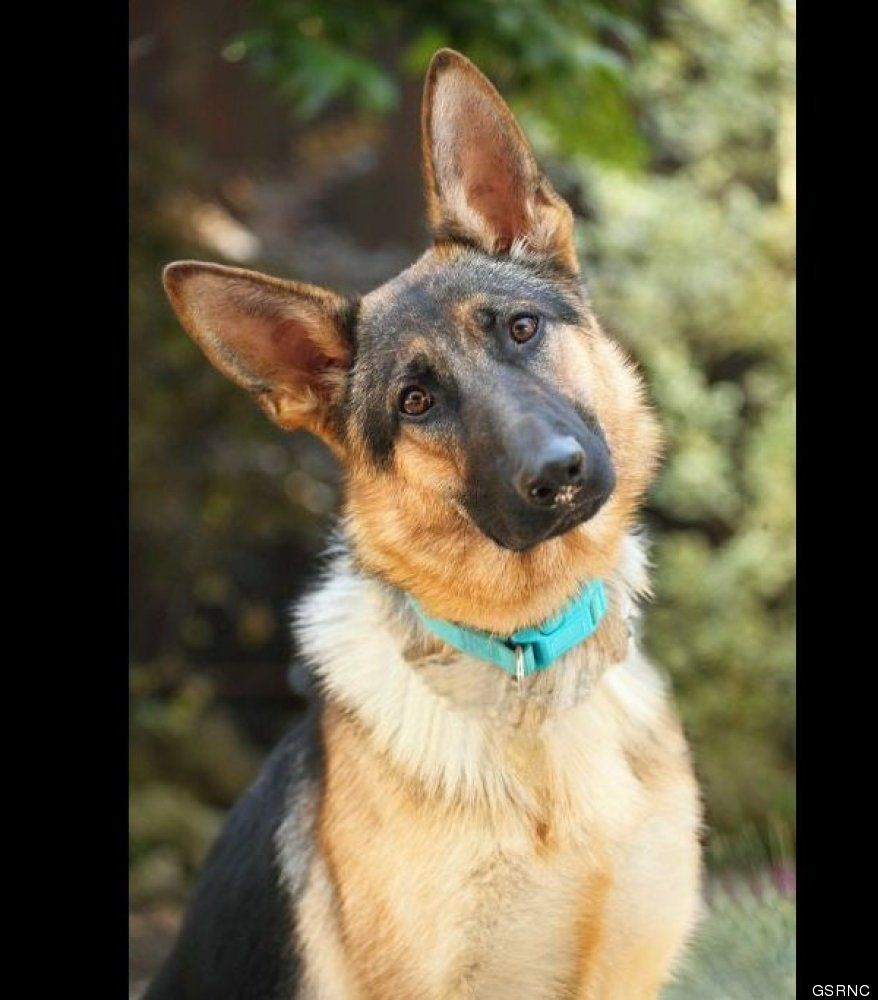 Photos These Adorable German Shepherds Need Your Love Herdershond