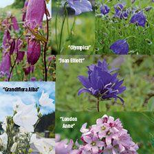 Glockenblumen Aus Englischen Cottage Gärten Bestellen The British