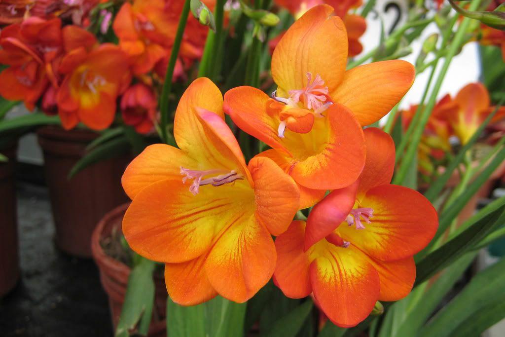 Orange Freesia Freesia Flowers Flowers Bulb Flowers