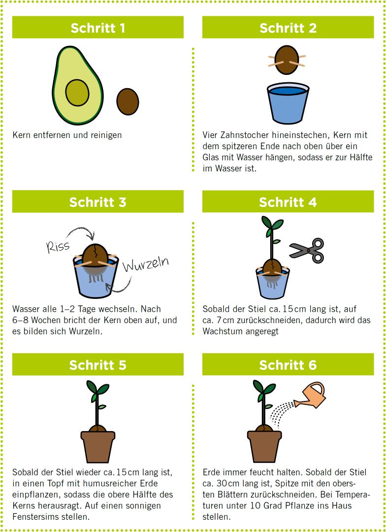 Avocado anpflanzen