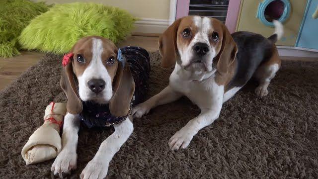 Popular Video Beagle Adorable Dog - 867edb4b5442d7fa464b6b0cfb5b5821  Trends_2661  .jpg