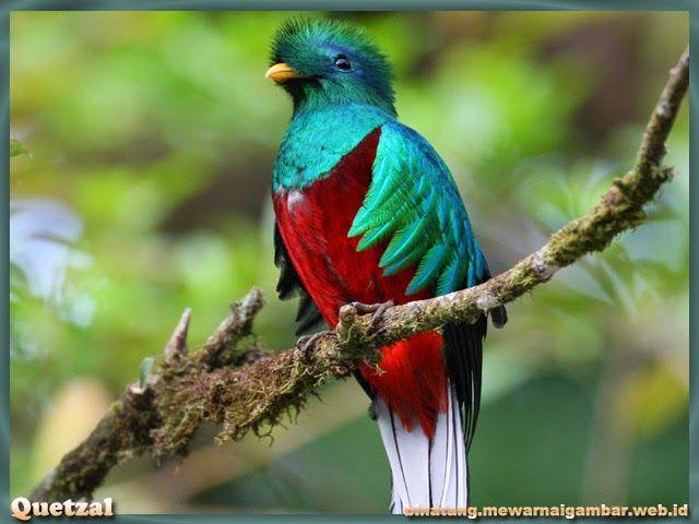 Gambar Burung Quetzal  Nama Binatang  Birds Exotic