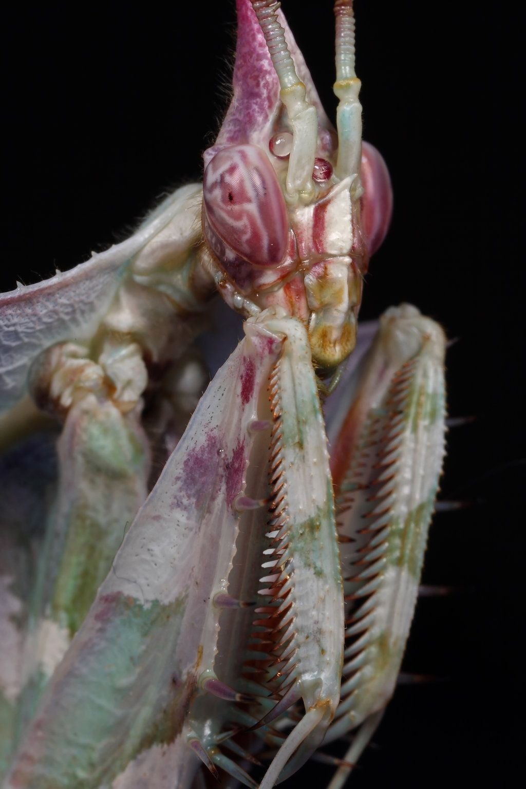 403 Forbidden Macro Photography Insects Incredible Creatures Praying Mantis