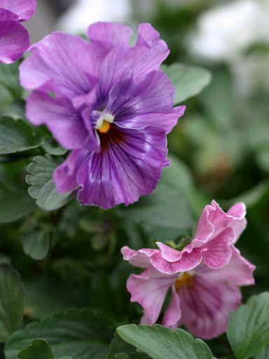 Pansies...love purple & pink together....