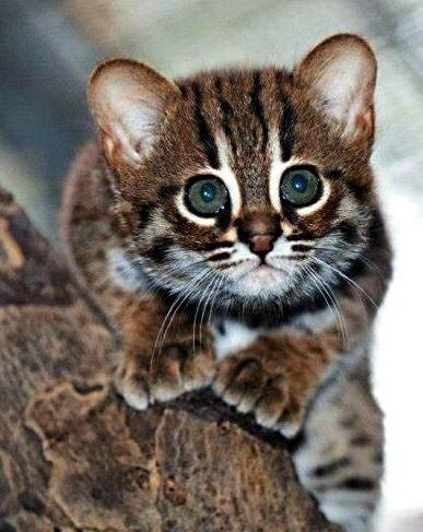 Rusty Spotted Cat Kitten Rare Cat Breeds Rare Cats Cat Breeds