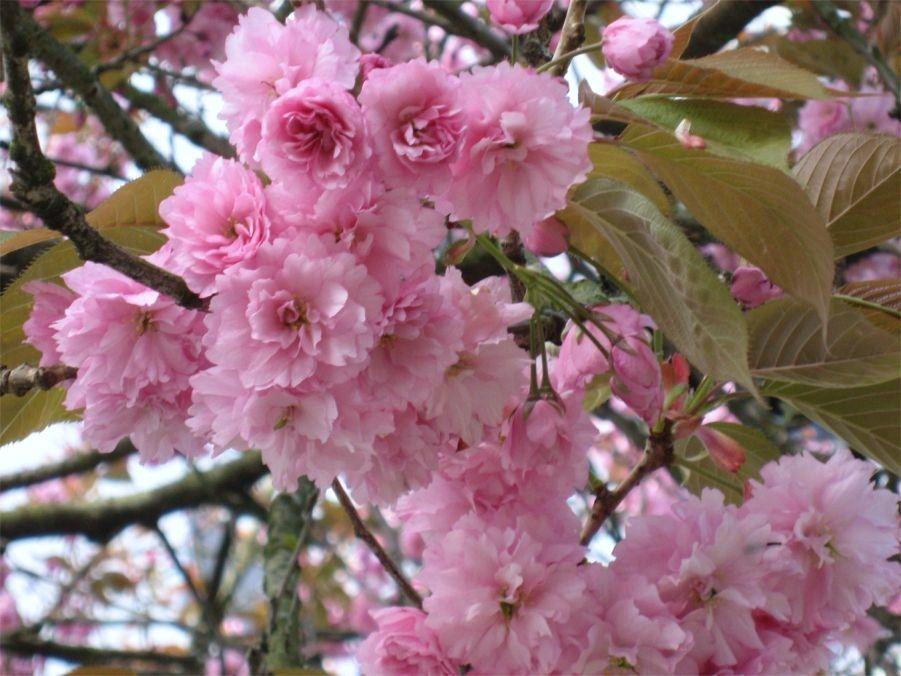 Kwanzan Cherry Tree Flowering Cherry Tree Pink Dogwood Tree Japanese Flowering Cherry