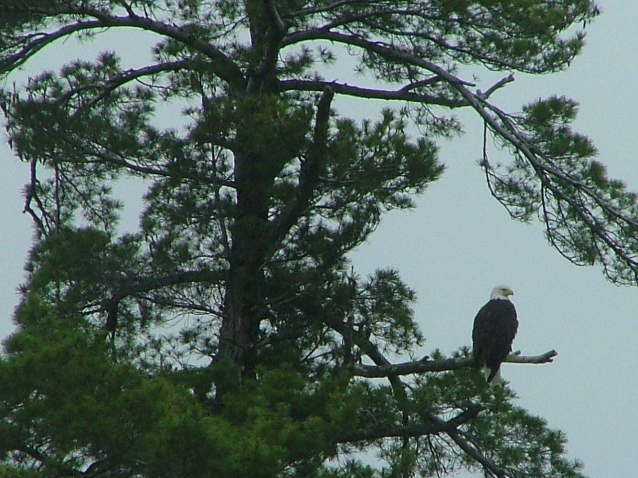 bald eagle on the watch, northwoods