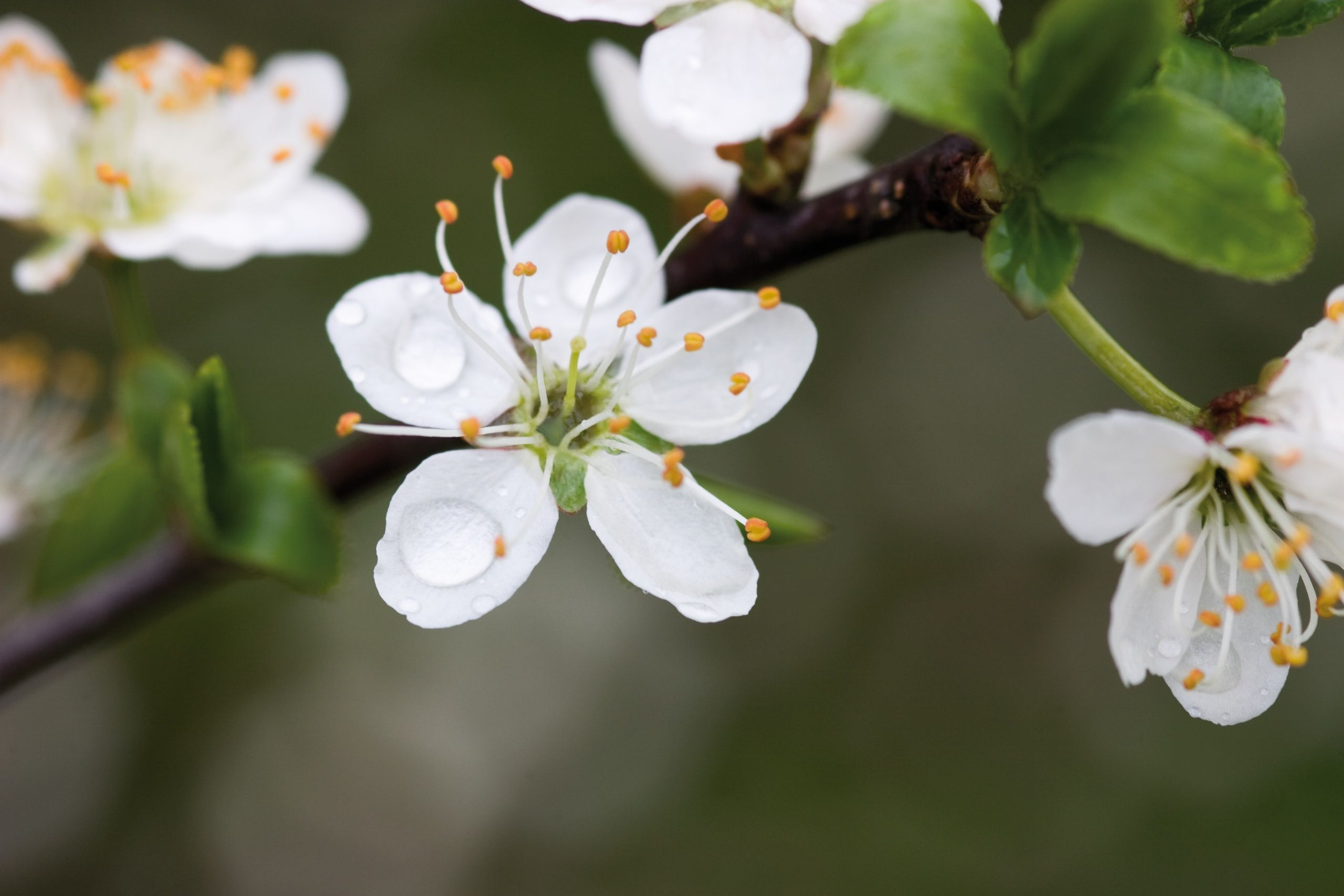 The dense spreading much branched thorny shrub which can reach a the dense spreading much branched thorny shrub which can reach a height of up to 3 m 9 feet flowers from march to april the small white scented mightylinksfo