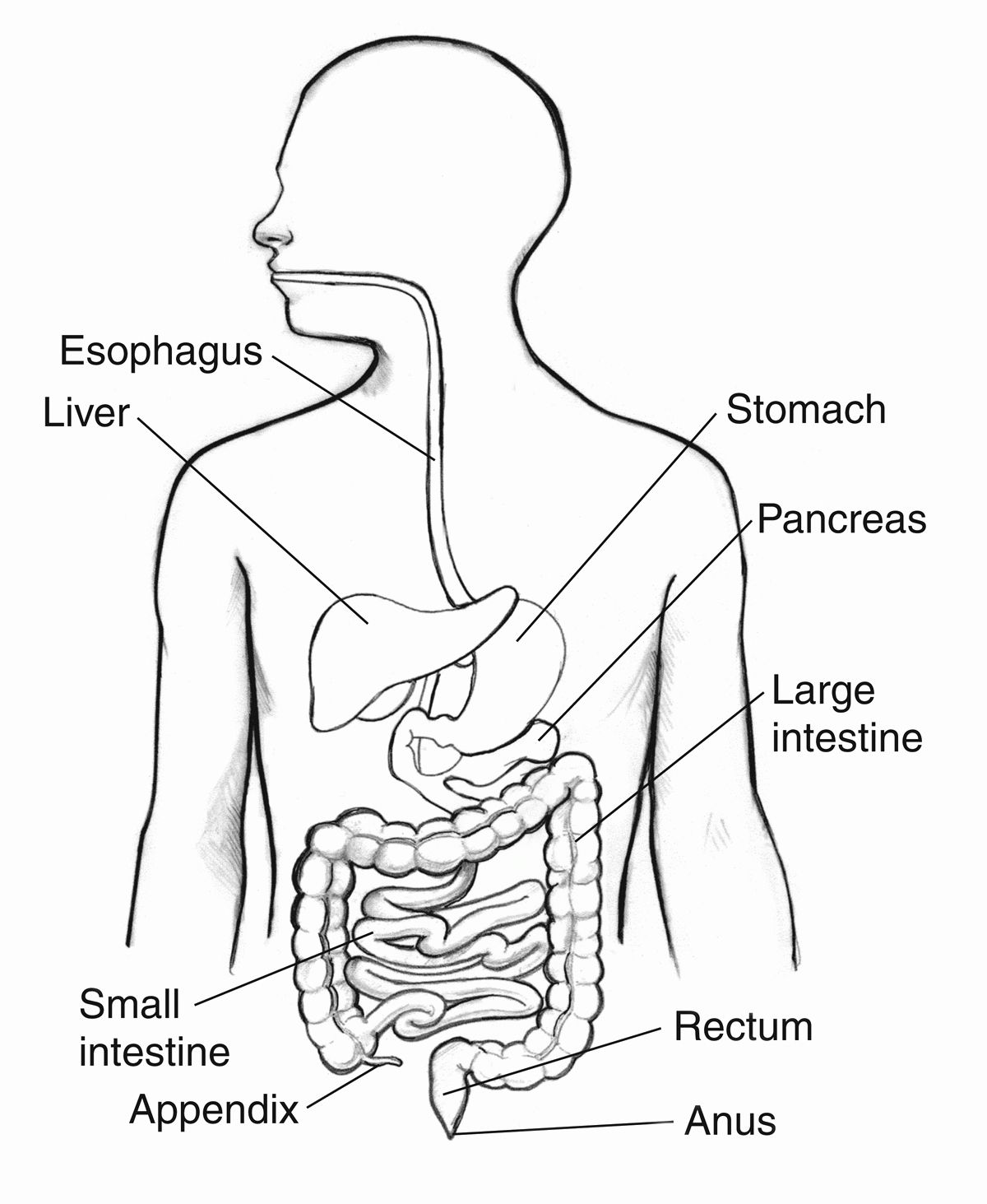 Digestive System Coloring Page Lovely Digestive System